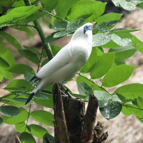 Burung jalak bali putih