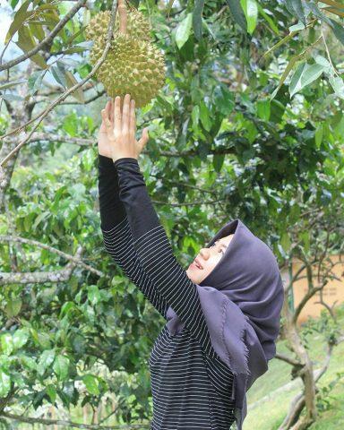 Kebun Durian Warso Sukabumi